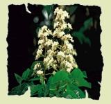 Jednotlivé esence (20ml) White Chestnut – Bílý kaštan